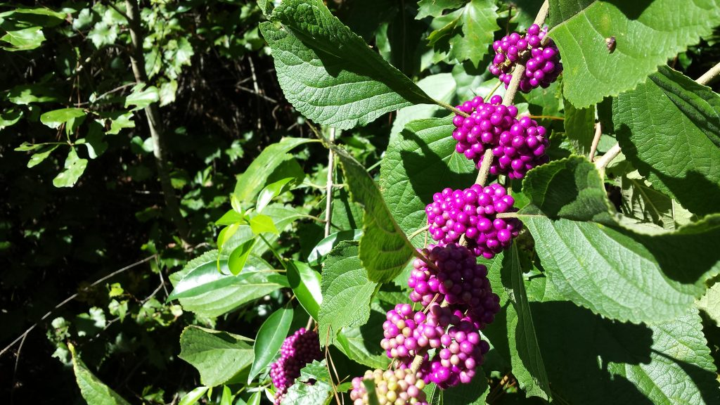 bright purple beauty berries with green leaves outside in the wild