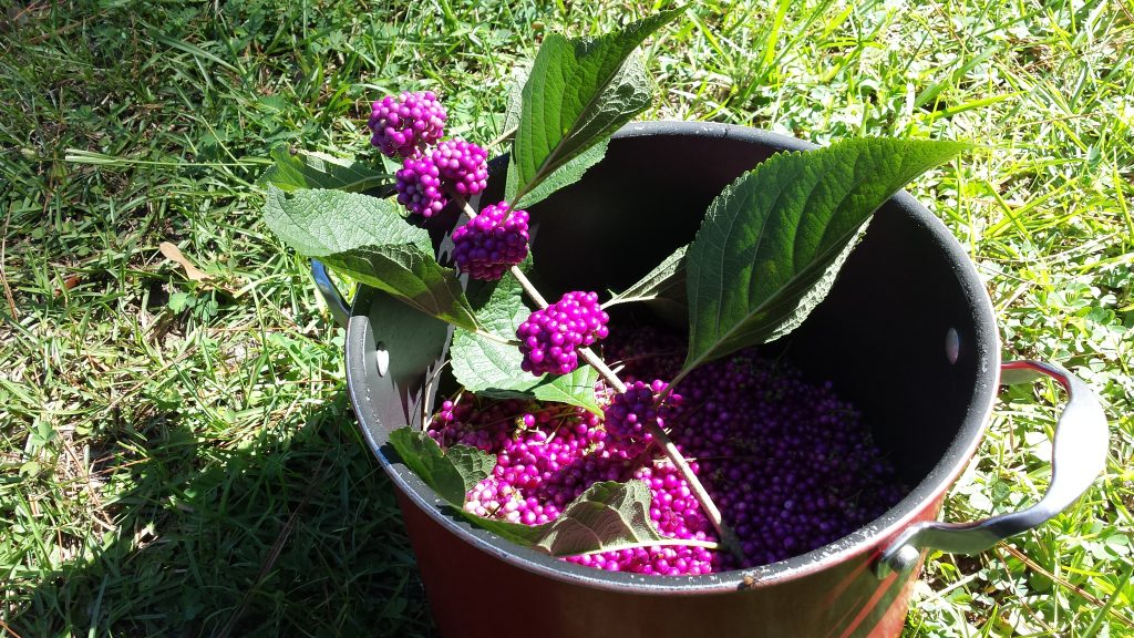 bright purple berries with green leaves sitting in a red pot on the grass