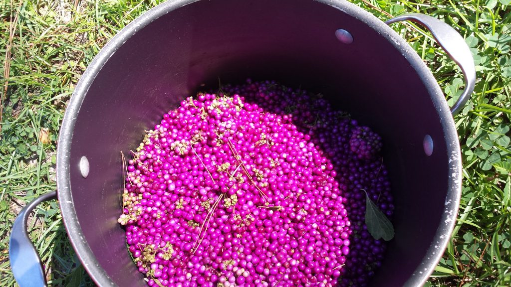 bright purple berries in a pot, on the ground, in the green grass, how to make the best jam from beauty berries