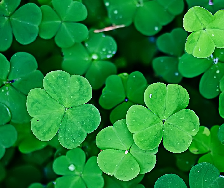 green clovers for St. Patrick's Day