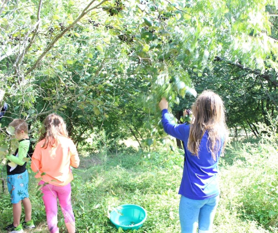 children picking mustang grapes off of the vines