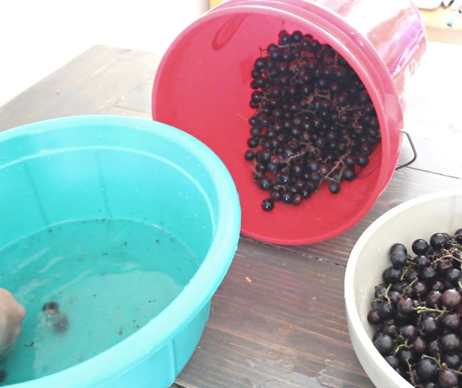mustang grapes being washed to be made into mustang grape jelly